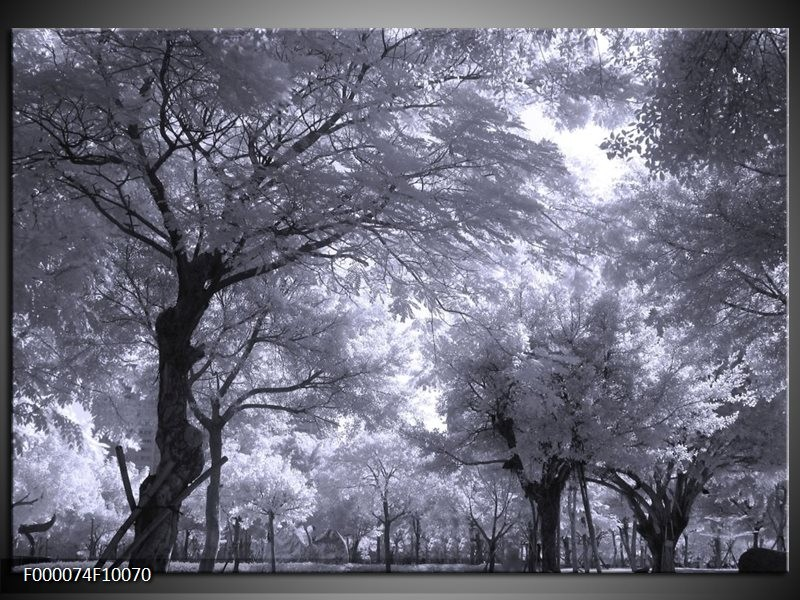 Glas schilderij Bomen | Wit, Zwart, Grijs