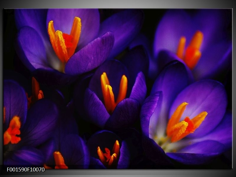 Foto canvas schilderij Bloem | Zwart, Oranje, Paars
