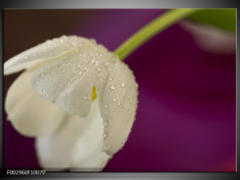 Foto canvas schilderij Tulpen | Wit, Paars