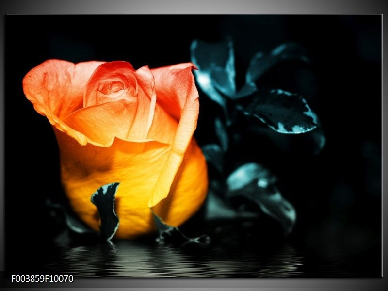 Foto canvas schilderij Roos   Geel, Oranje, Zwart