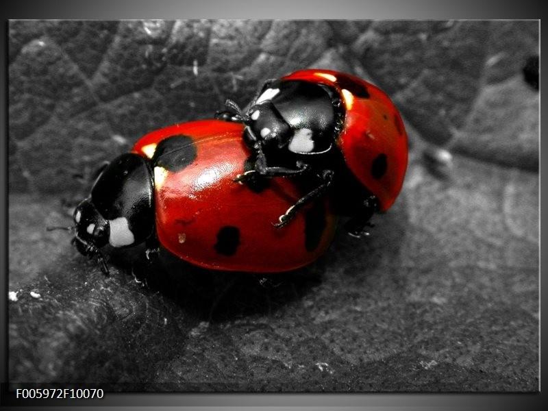 Glas schilderij Lieveheersbeestje   Rood, Zwart, Grijs