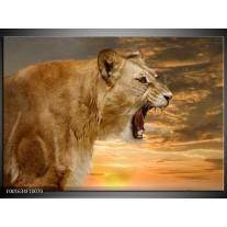Glas schilderij Leeuw | Crème , Bruin, Wit
